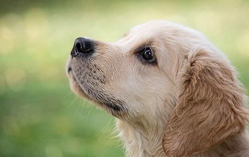 地震予知が出来る犬がいる!東日本大震災を予知した犬
