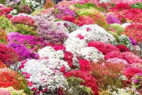 気の力で花が多く咲き、季節が過ぎても枯れずに再び花が咲きます。